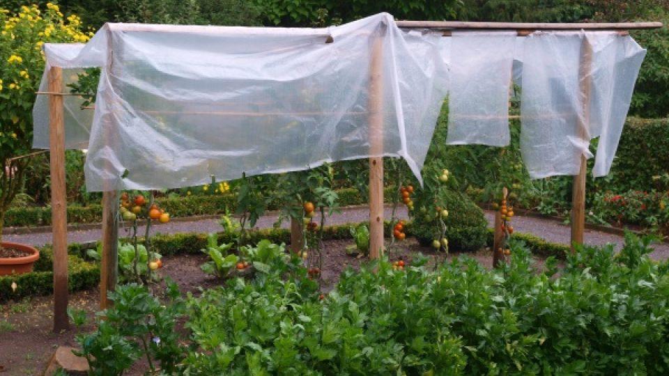 Igelitová ochrana rajčat proti dešti. I taková drobnost může silně omezit nebo alespoň oddálit napadení rostlin houbovými nemocemi.