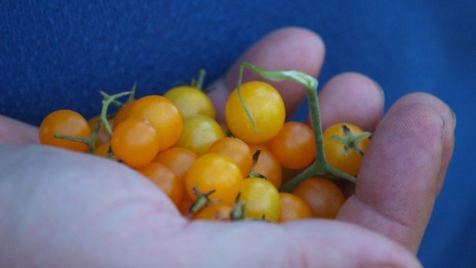 Původní drobounké žluté plody rostoucí planě v Jižní Americe. Jedna rostlina prý může za sezónu vytvořit až šest tisíc těchto plodů.