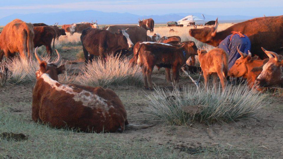 Ráno u krav