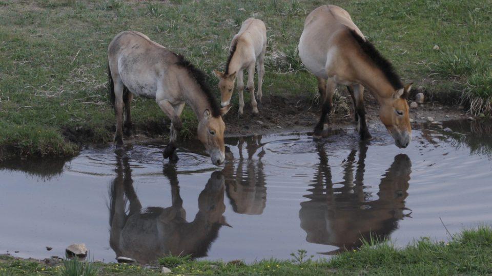 Koně Převalského u brodu