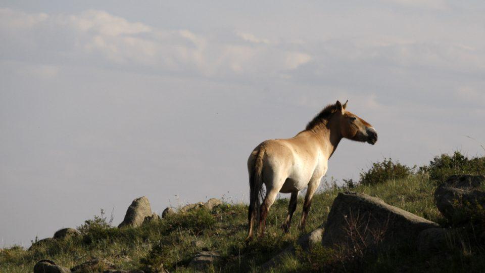 Kůň Převalského v mongolské stepi