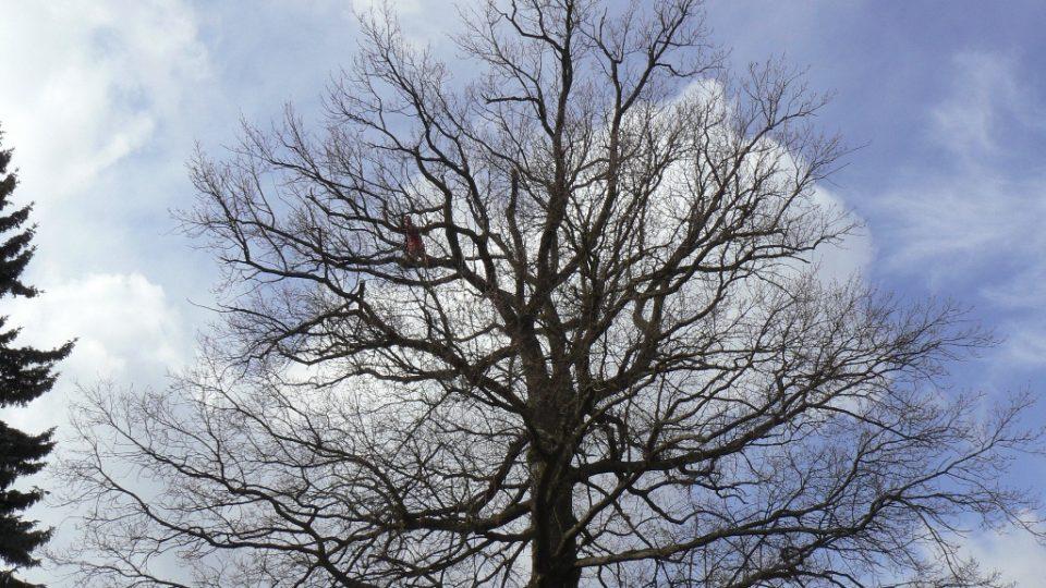 Na vrchu koruny jsou suché větve