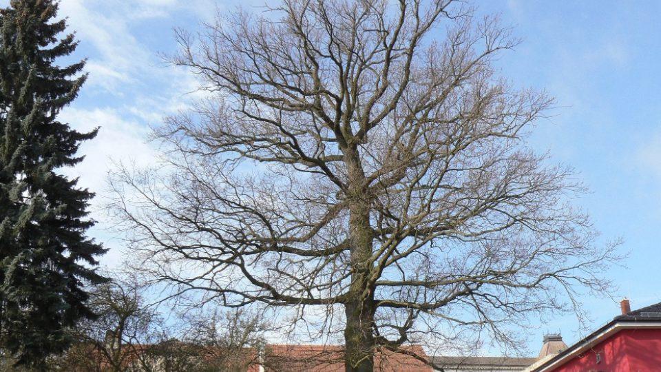 Památný dub v Novém Strašecí