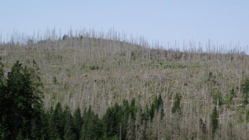 Uschlé stromy na Šumavě