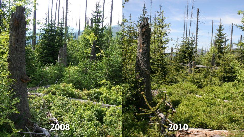 Vývoj lesa po kůrovcové kalamitě v bezzásahové oblasti NP Bavorský les, 1160 m n.m., 2 km západně od vrcholu Luzného. (vrchol na obzoru: Velký Roklan)