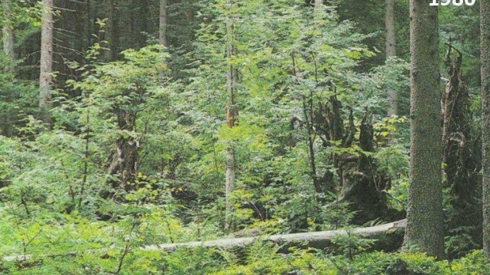 1986 - Staré kmeny ztrouchnivěly a rozpadly se; vyrůstá nový les...