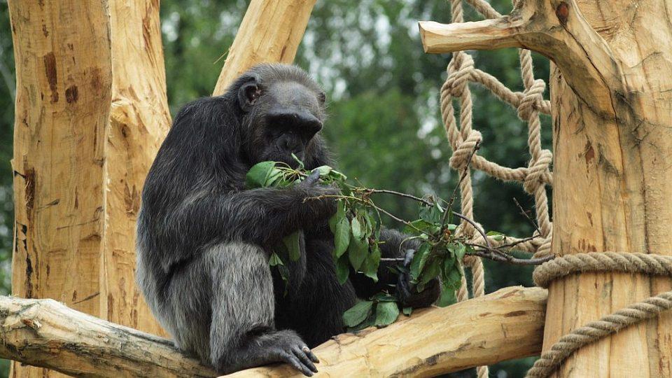 Spokojený šimpanz v novém výběhu - otevření nového pavilonu goril