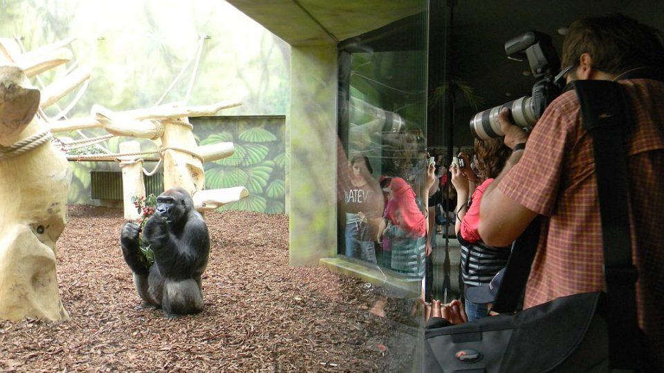 Tadao měl radost z třešní - otevření nového pavilonu goril