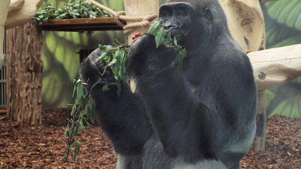 Tadao - otevření nového pavilonu goril