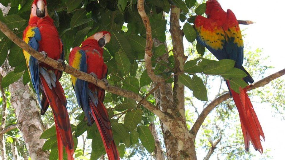 Vstup do areálu Copán ruinas hlídá několik papoušků ara arakanga