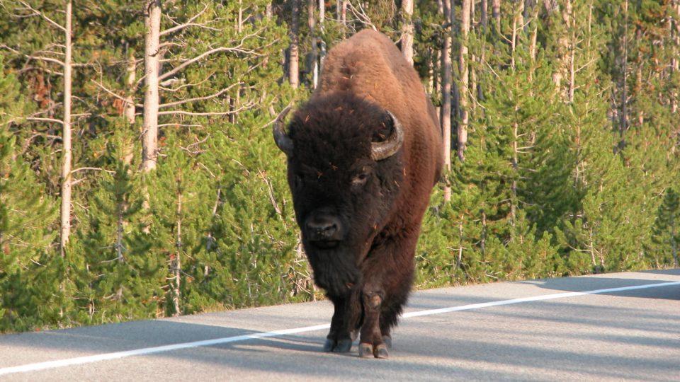 Potkat bizona na silnici není v Yellowstonském národním parku nic neobvyklého