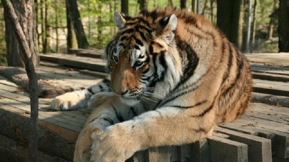 Pruhy jsou pro tygry něco jako otisky prstů