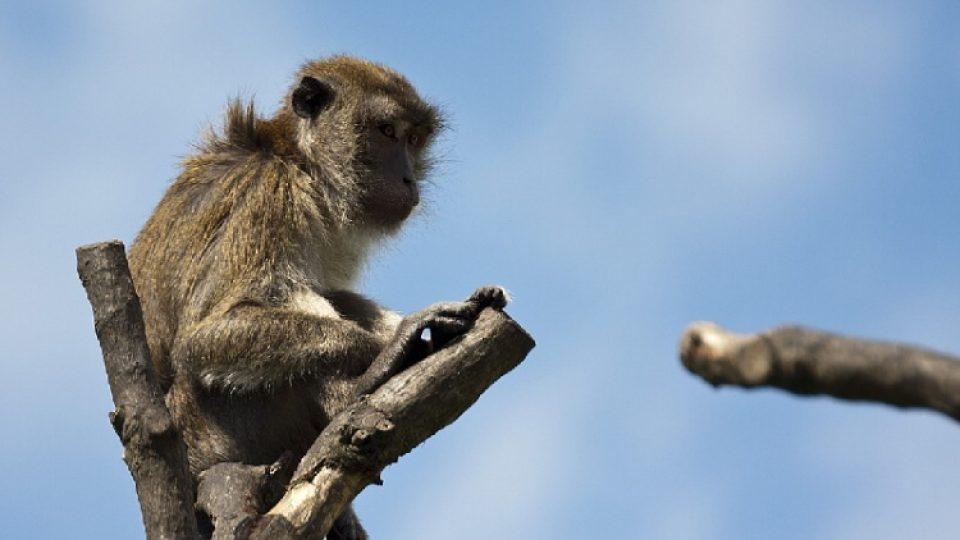 Občas se v zoo nudí i makak jávský. Ošetřovatelé se ho proto v rámci takzvaného enrichmentu snaží rozptýlit třeba svačinkou v podobě neotevřeného jogurtu
