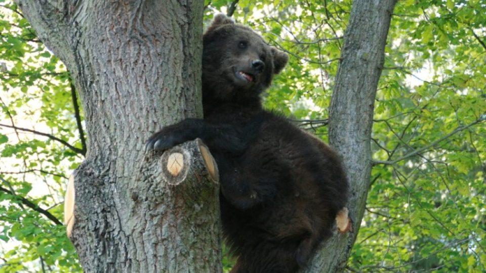Medvědi hnědí mají v táborské zoo jeden z nejhezčích výběhů. Užívat si v něm mohou i šplhání po stromech
