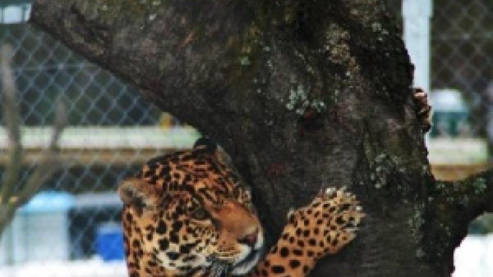 Jaguáři si občas musí svoji dávku potravy doslova rozbalit