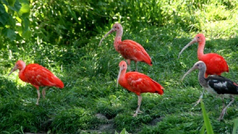 Ibis rudý vděčí za svoji zářivou barvu krabům ve své potravě
