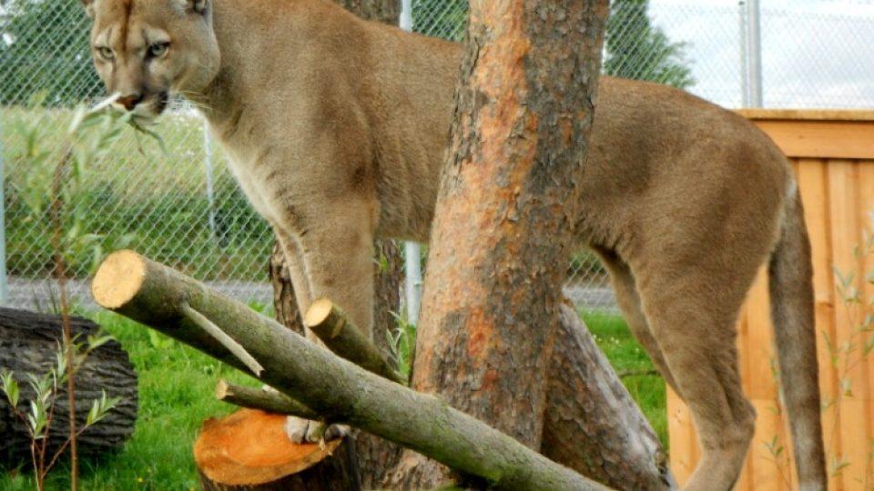 Puma jihoamerická je právem chloubou Zoo Tábor-Větrovy