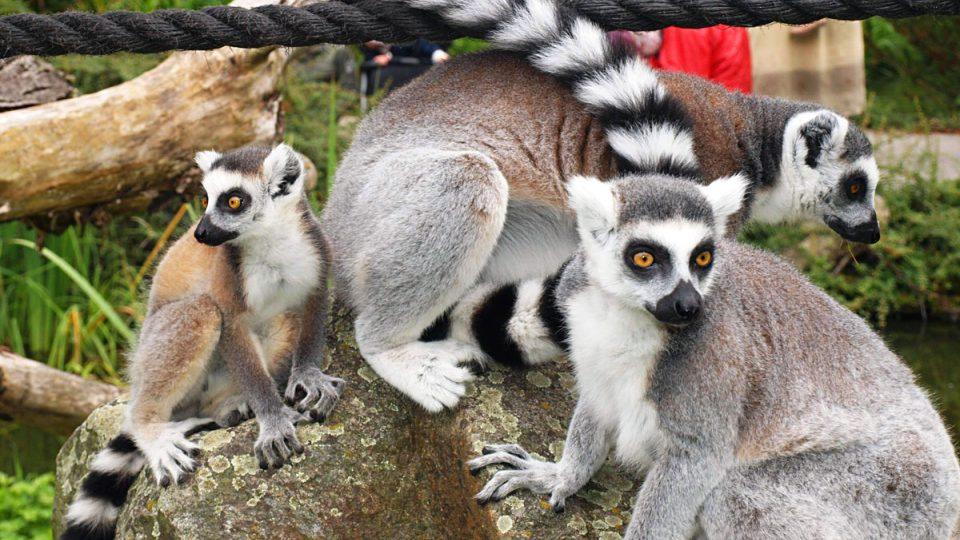 mládě lemura Pepa se svou matkou (lemur dostal jméno Pepa, kmotr Pavel Kudrna)
