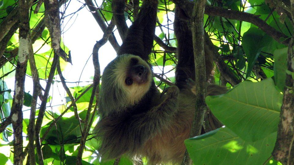 Lenochod krátkokrký (Manuel Antonio National Park, Kostarika)