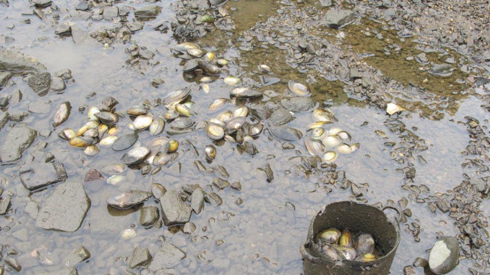 Rybáři zachránili desítky tisíc škeblí Tisíce jich ale uhynuly