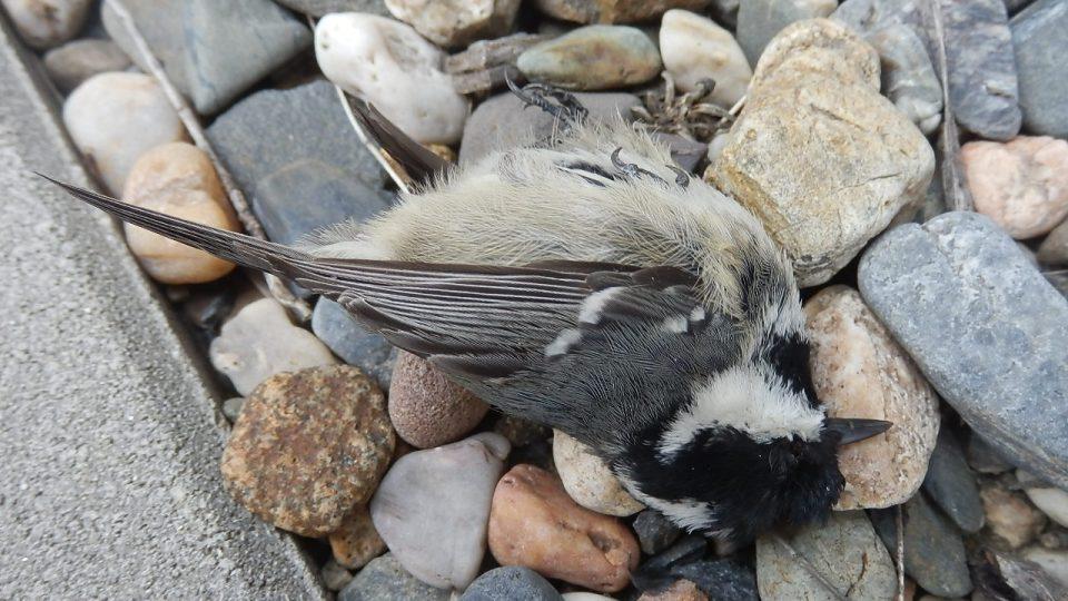 Ptáci uhynulí na Karlovarské ulici - sýkora uhelníček