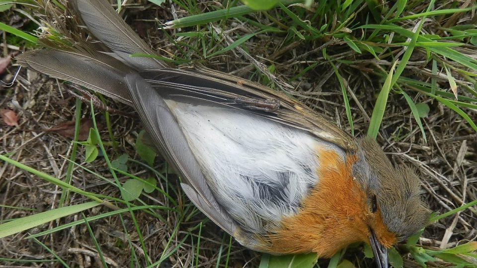 Ptáci uhynulí na Karlovarské ulici - červenka obecná