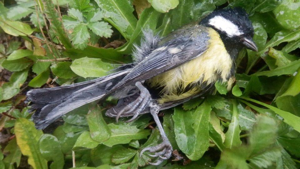 Ptáci uhynulí na Karlovarské ulici - sýkora koňadra