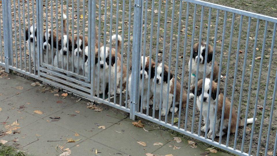 Pozor psi
