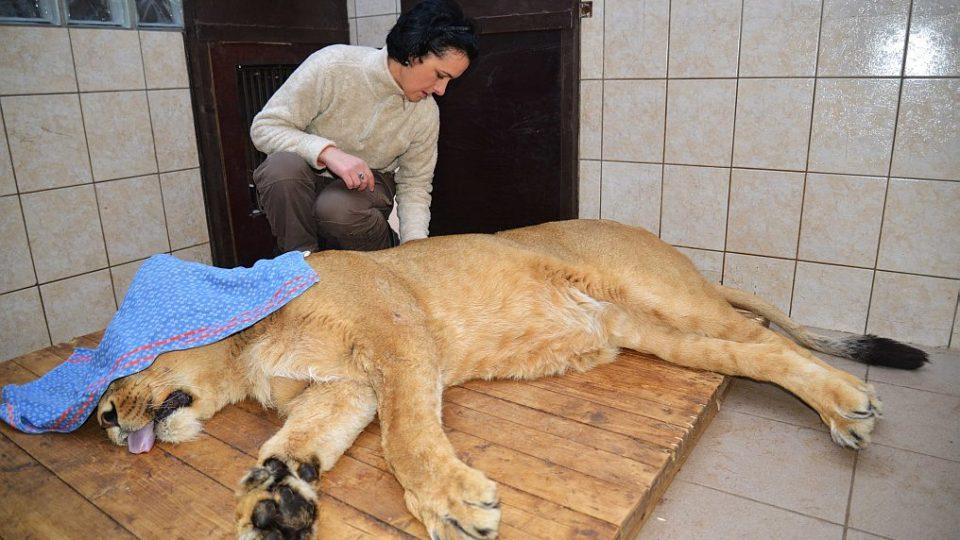 Ošetřovatelka Galina Žižková při vyšetření lvice