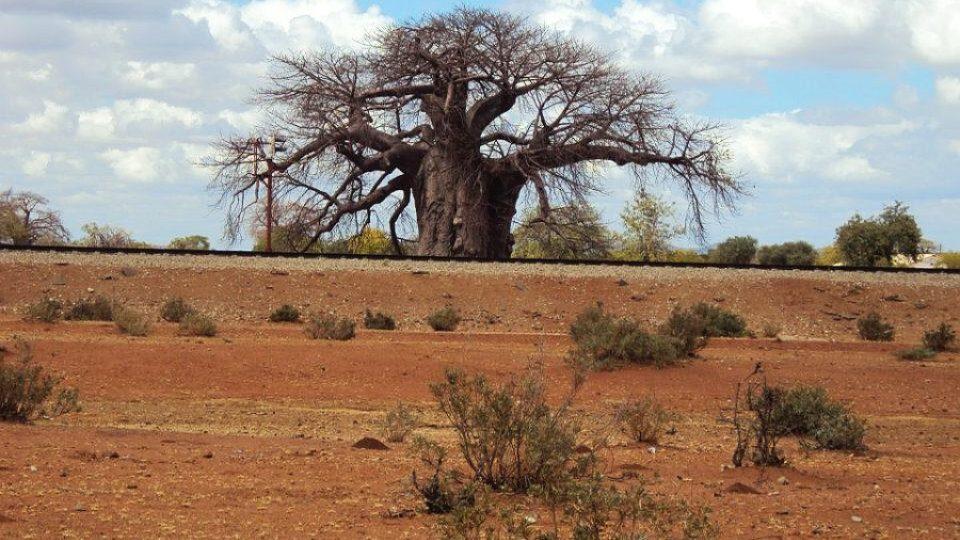 Baobab v provincii Limpopo