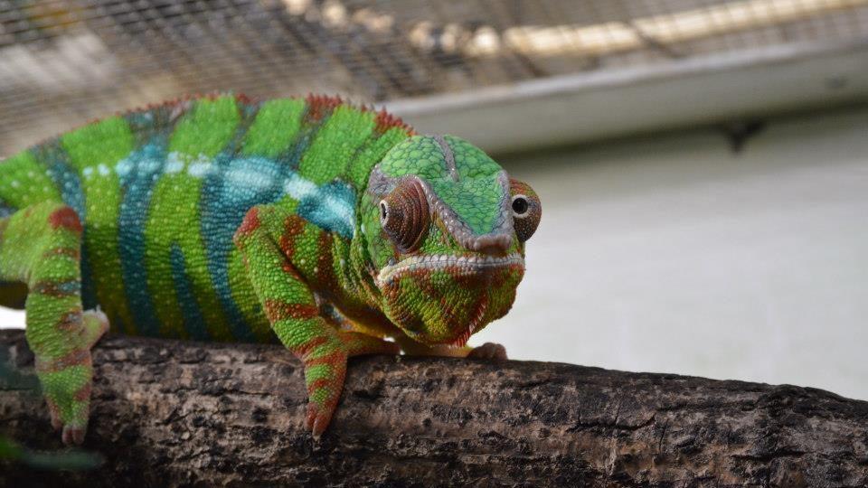 Dívat se chameleonovi zpříma do očí je hodně obtížné!
