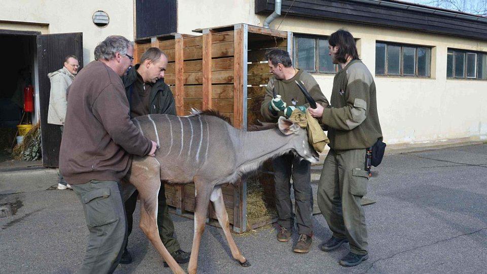 Ze ZOO Dvůr Králové odjel transport zvířat do ZOO Hodenhagen, odkud dorazí samice jižního bílého nosorožce