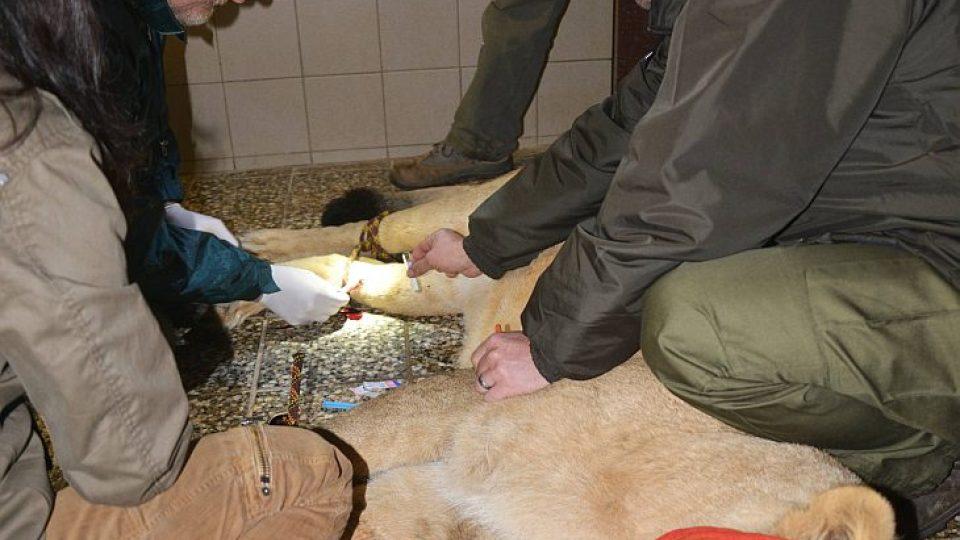 Ještě se rychle odebere krev a lvice dostane injekci na zrušení anestezie