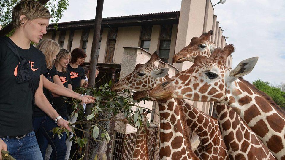 Basketbalistky adoptovaly žirafího samce Jita v ZOO Dvůr Králové nad Labem