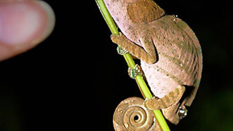 Na vanilkový ostrov Madagaskar za usměvavými lidmi - chameleon