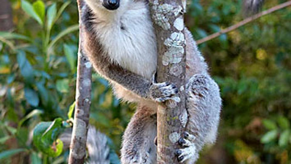 Na vanilkový ostrov Madagaskar za usměvavými lidmi - lemur