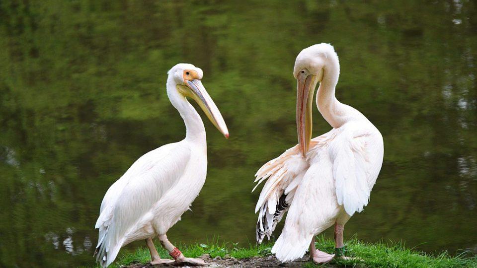 Světová rarita v odchovu pelikánů - pelikáni na safari