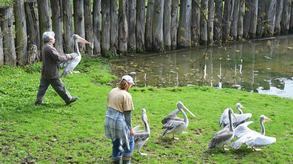 Světová rarita v odchovu pelikánů - vypouštění ven