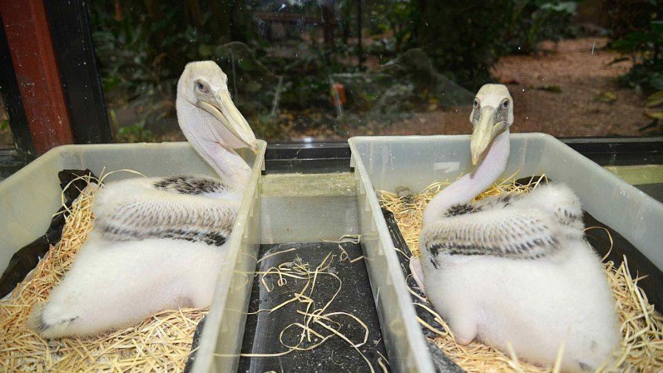 Světová rarita v odchovu pelikánů - odrůstající mláďata v odchovně