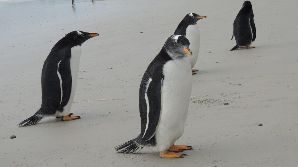 Zvědaví tučňáci oslí