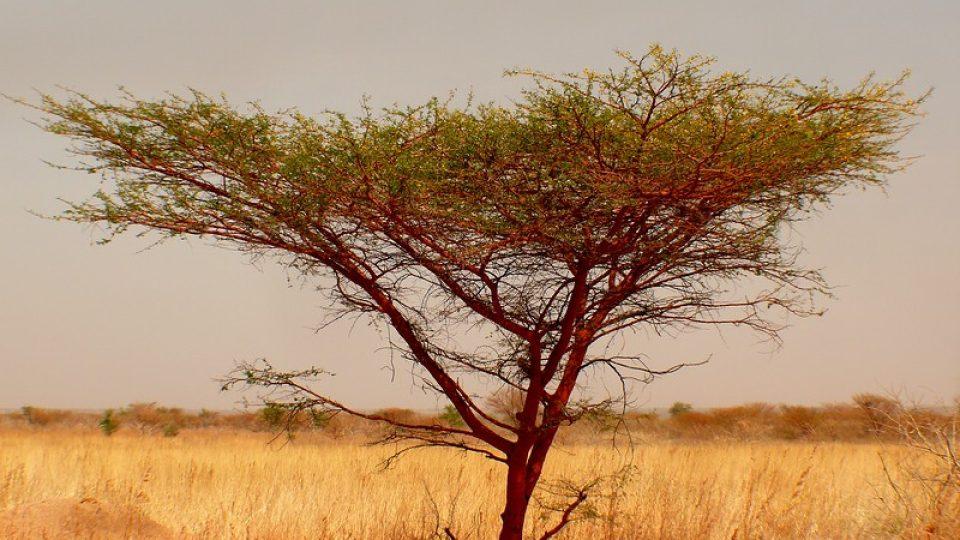Andrea Kaucká a René Bauer - Súdán - různé druhy akácí se využívají k různým účelům