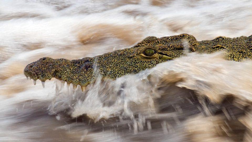 krokodýl nilský od Václava Šilhy
