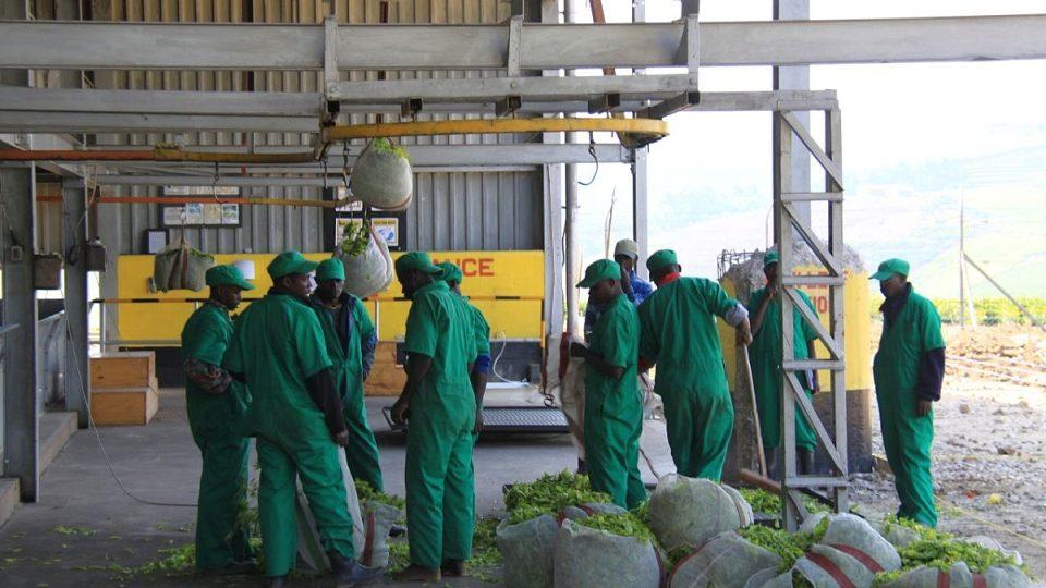 Zaměstnanci Gisevu mezi čerstvými listy čaje