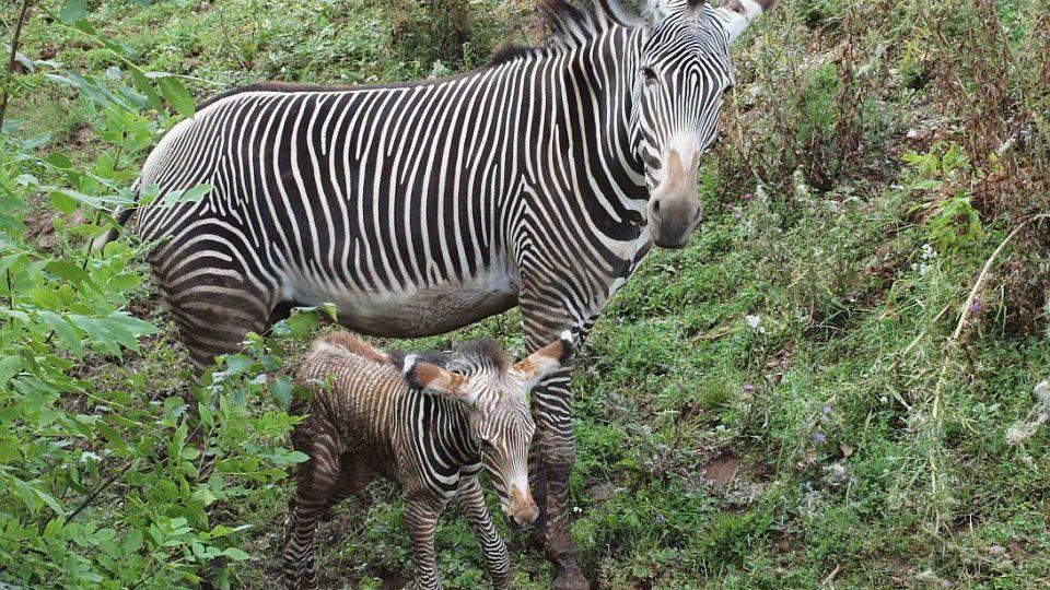 Dramatický porod zebry Grévyho v ZOO Dvůr Králové