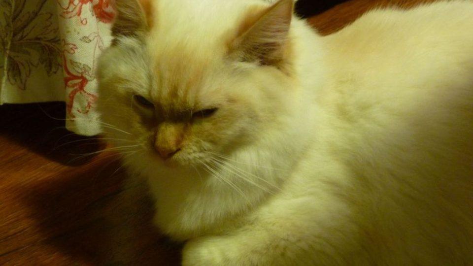Kočkám může zamioculcas způsobit zdravotní potíže