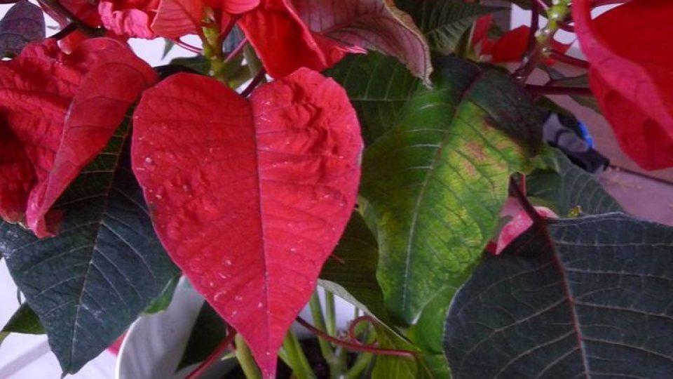 Vánoční hvězda (Euphorbia pulcherrima) požití listů může vyvolat pocity nevolnosti a zvracení