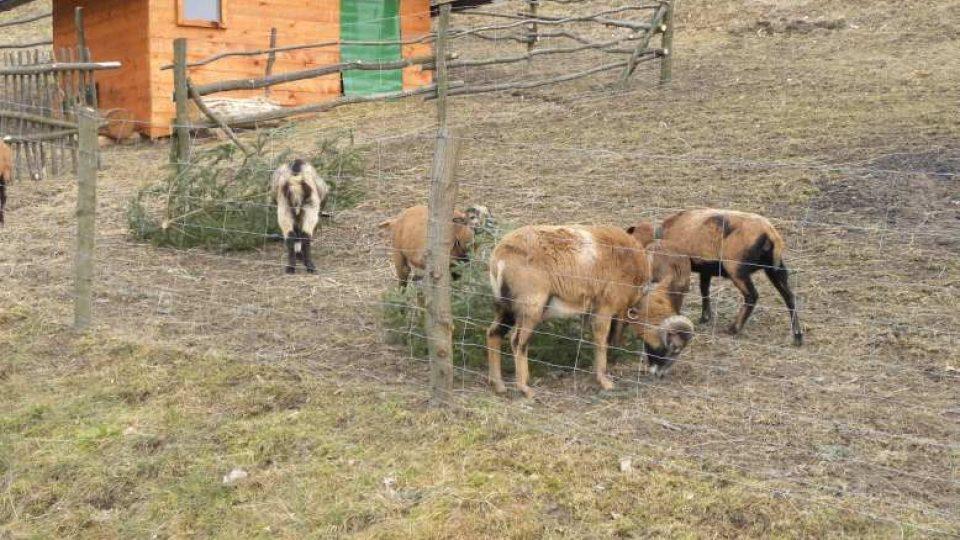Peklo nad Zdobnicí - kamerunské ovce