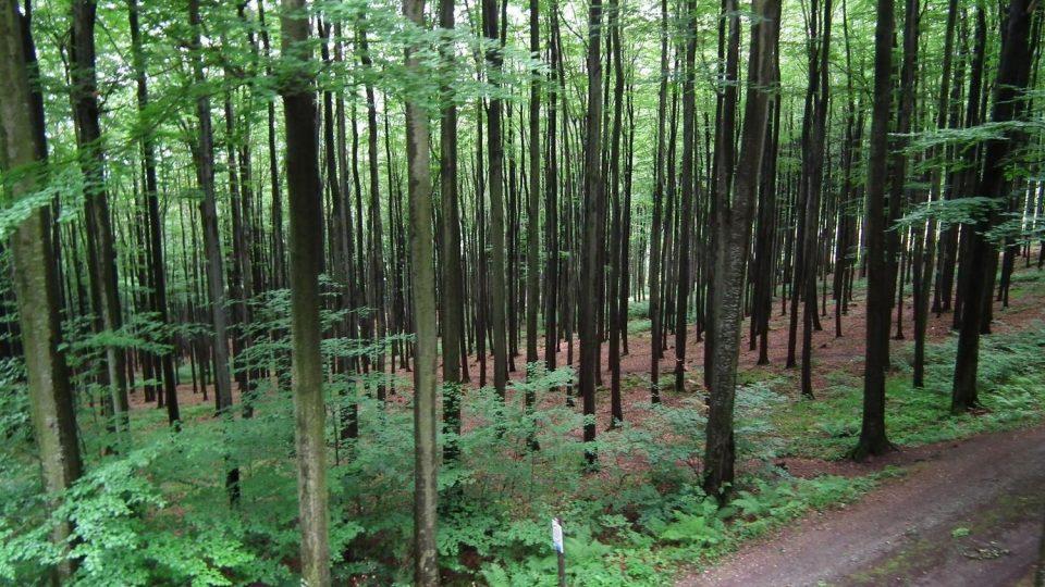 Pohled z lanové dráhy do bukového lesa