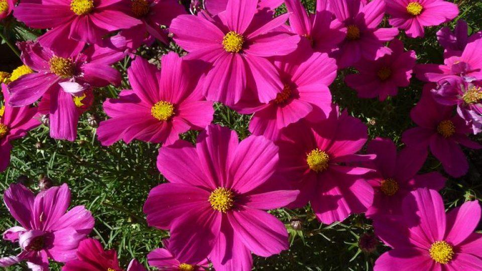 Semínka krásenky můžete vysít přímo na záhon