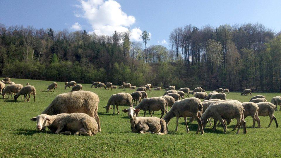 200 ovcí uprostřed zelených hor je jako vystřižených z propagačního katalogu